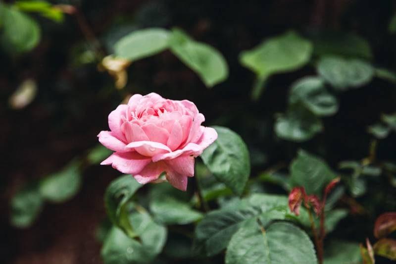 Radiating Chaos Pink Rose