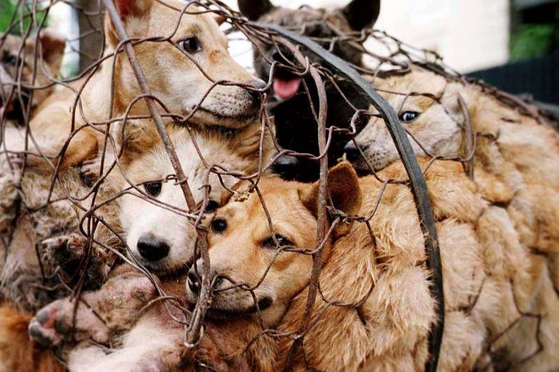 Please Help Put an End to the Yulin Dog Meat Festival