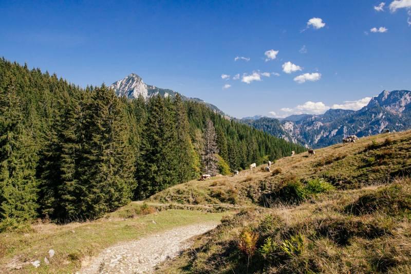 Mountain view of cows on a hillside in Postalm, Austria