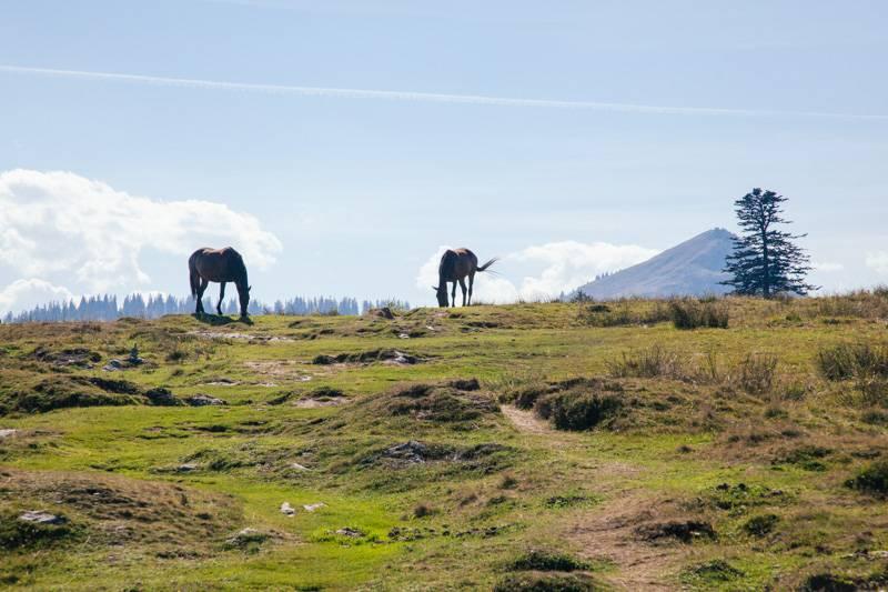 Wild horses on a hillside in Postalm, Austria