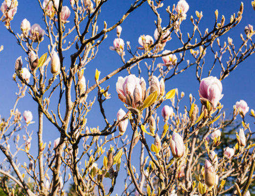 Magnolia tree against blue sky