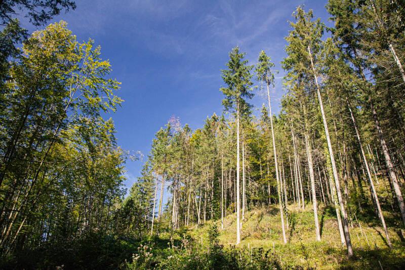 Tall trees in Rotwandl, Austria