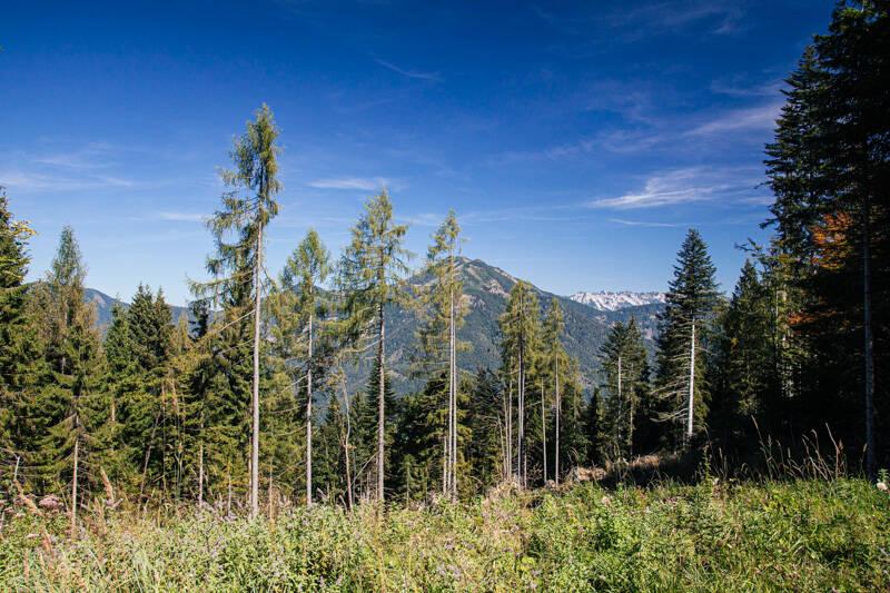 Tall forest trees, Rotwandl, Austria